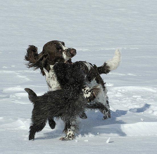 Størrelse ingen hindring - cairn leker gjerne med større hunder